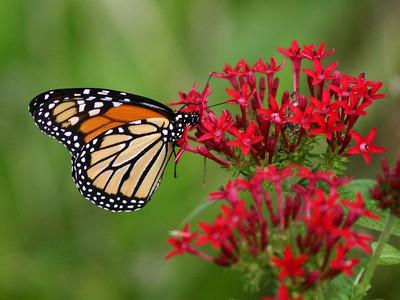Monarch - Baytown Nature Center