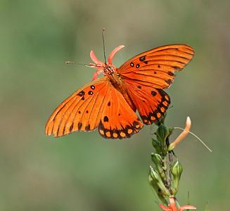 Gulf Fritillary Butterfly - Brazoria NWR - Sept. 11, 2006
