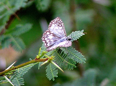 Tropical Checkered-Skipper