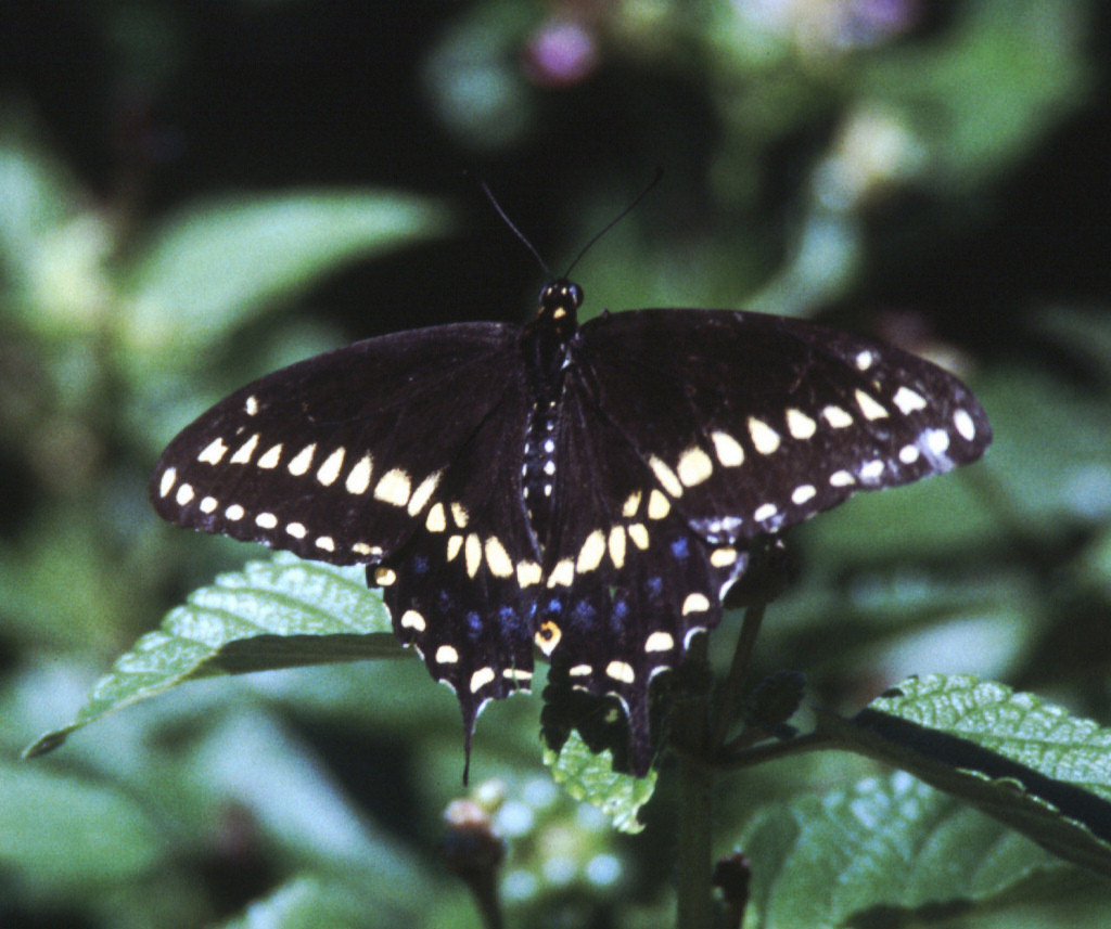 Black Swallowtail - Male