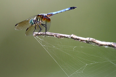 Blue Dasher - Anahuac NWR - July 2011