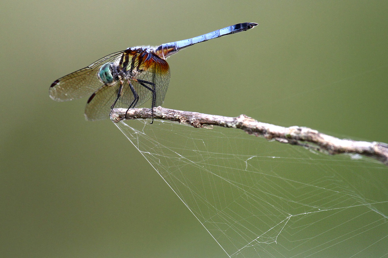 Blue Dasher - Anahuac NWR - July 2011