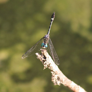 Unidentified Dragonfly - Edinburg, TX
