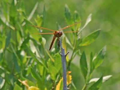 Golden-winged Skimmer Dragonfly