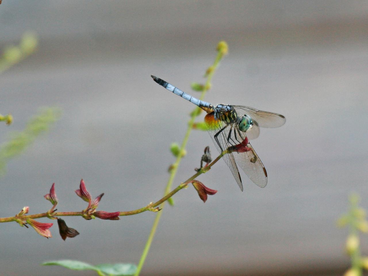 Blue Dasher Dragonfly - Brazoria NWR - Sept. 11, 2006