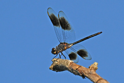 Four-spotted Pennant - Anahuac NWR - Aug 2011