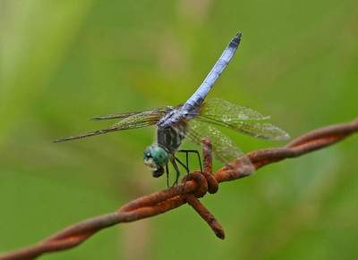 Blue Dasher Dragonfly - Male