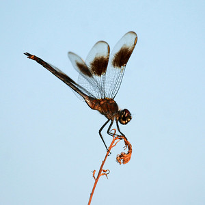 Four-spotted Pennant - Baytown Nature Center - Sept. 14, 2006