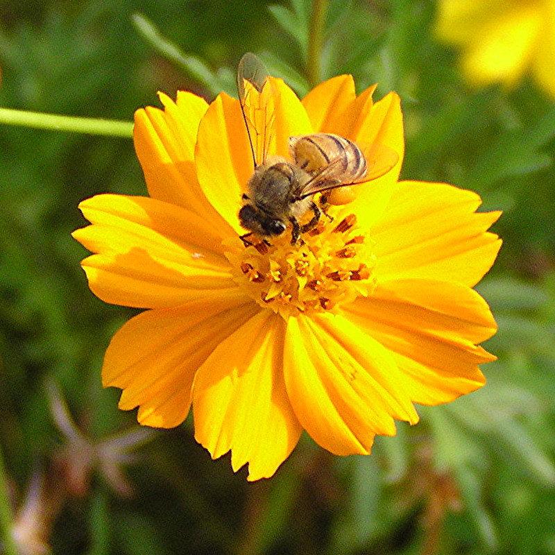 Honey Bee on Wildflower - Baytown Nature Center