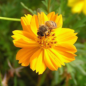 Honey Bee on Wildflower - Baytown Nature Center