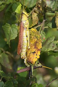 Grasshopper's Mating
