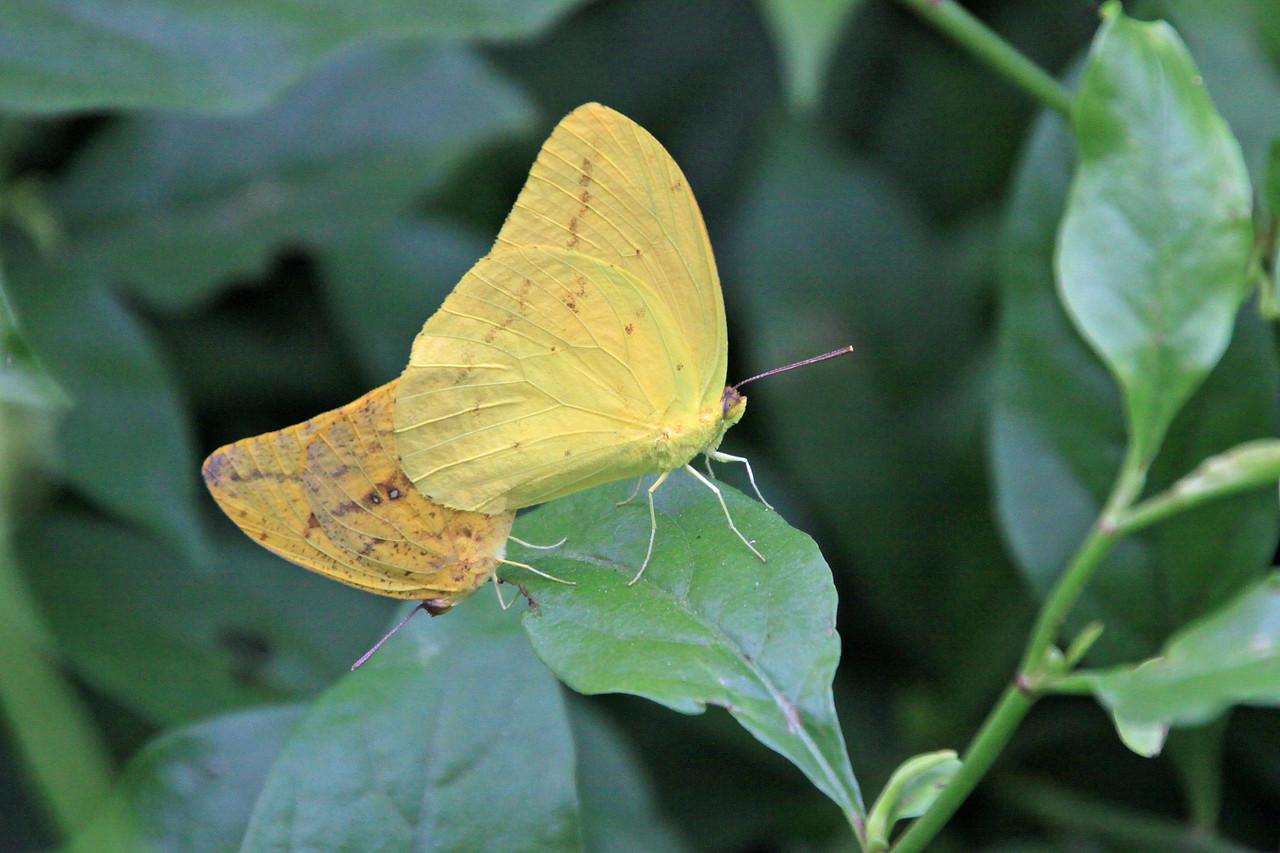 Large Orange Sulphur