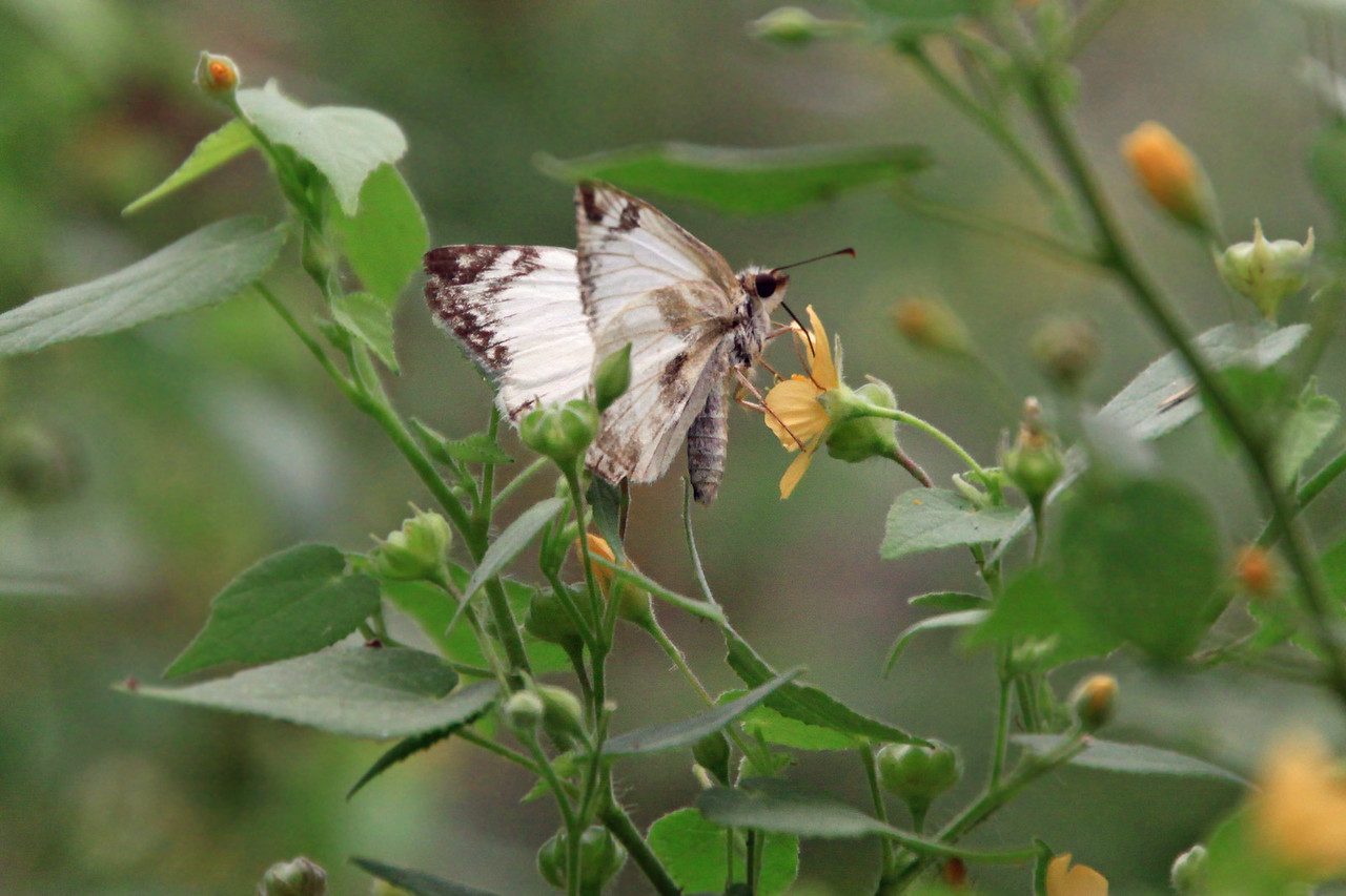 Lavian White-Skipper