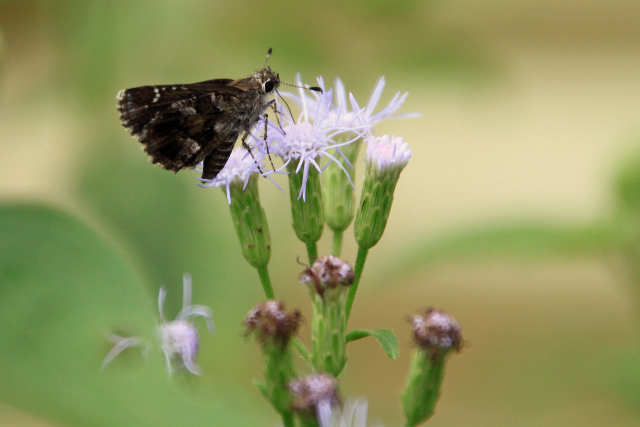 Nysa Roadside-Skipper