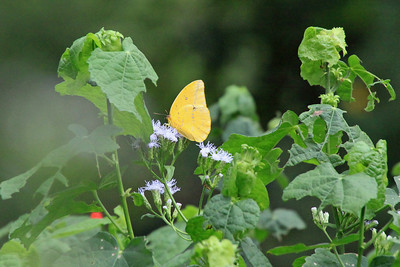 Large Orange Sulphur