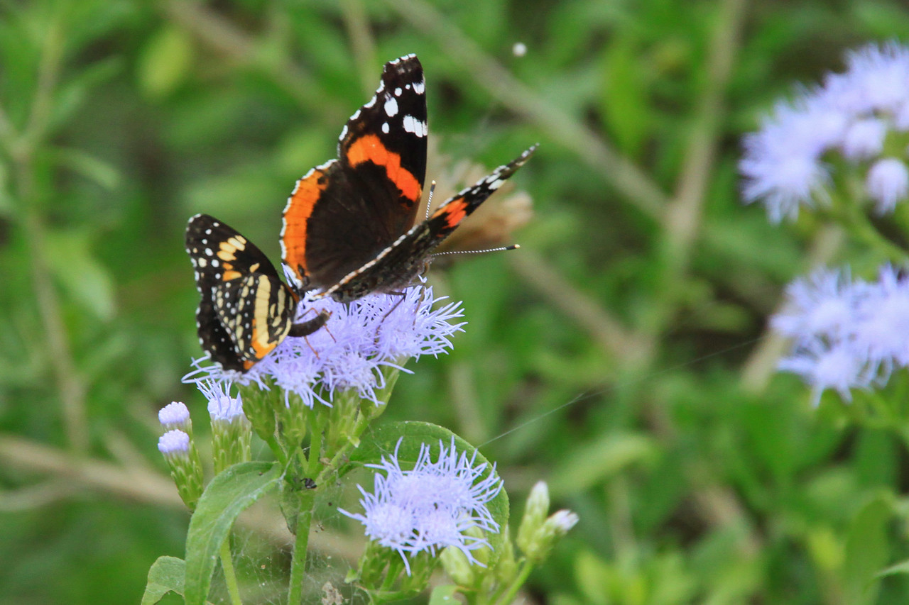 Red Admiral & Border Patch
