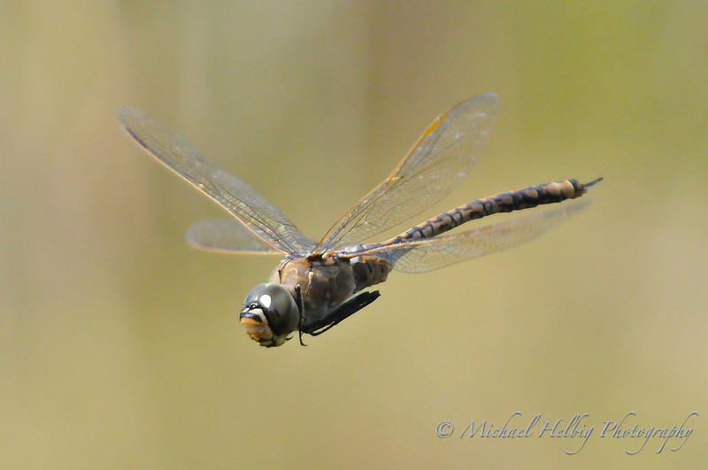 Dragonfly in flight - Perth