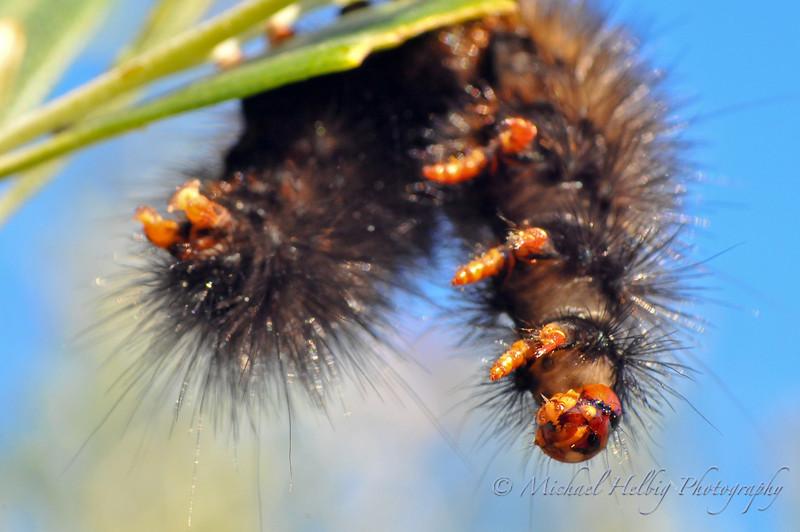 Caterpillar - Macro