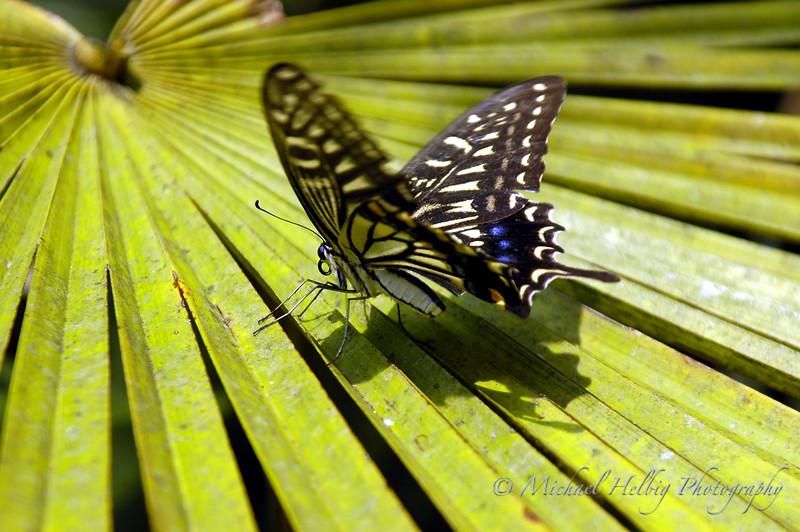 Butterfly - Hiroshima
