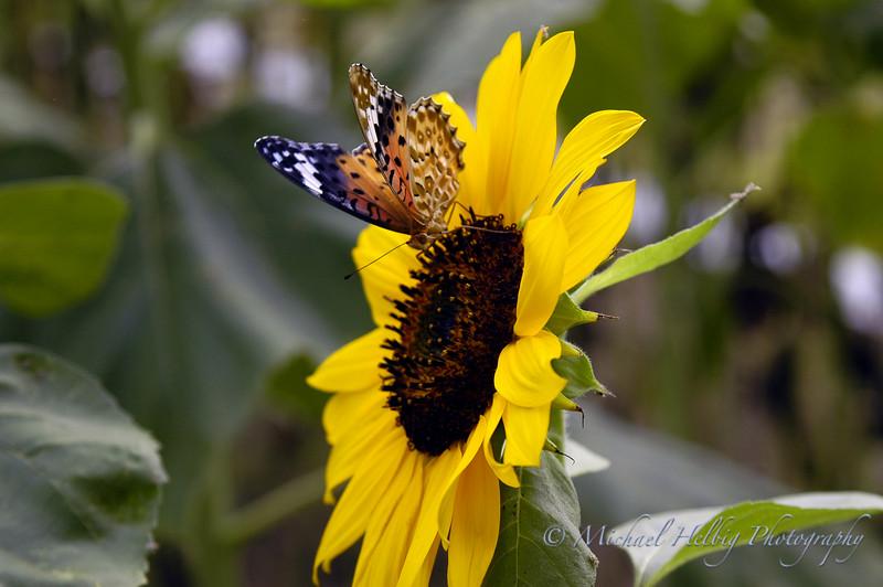 Butterfly - Yamaguchi