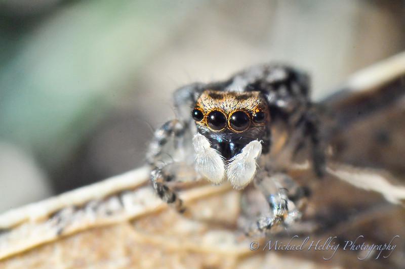 4mm Jumping Spider - Macro