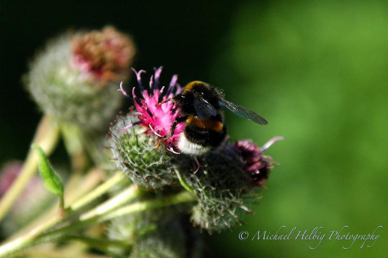 Bee - Sweden