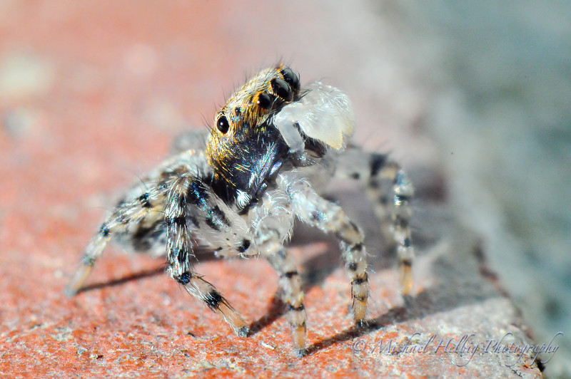4mm Jumping Spider - Macro