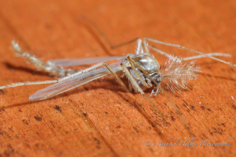 Mosquito carcas