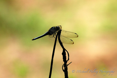 Butterflies  & Dragonflies (and other insects)