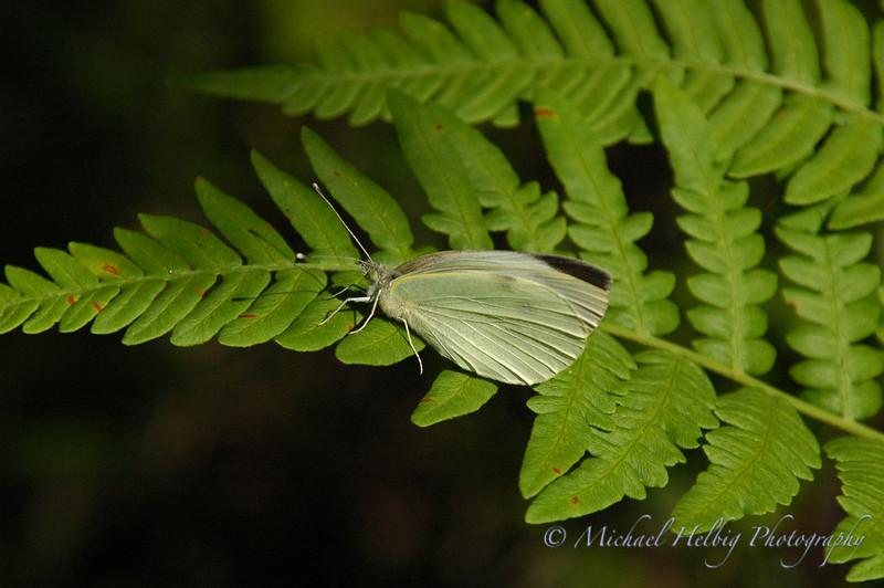 Moth - Sweden