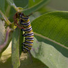 Monarch Catepillar