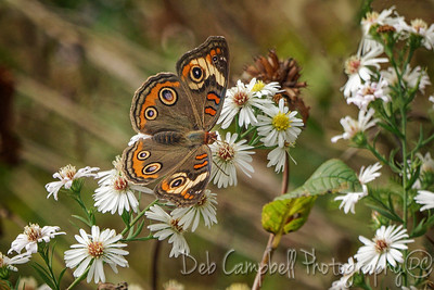 Common Buckeye on Wood Aster