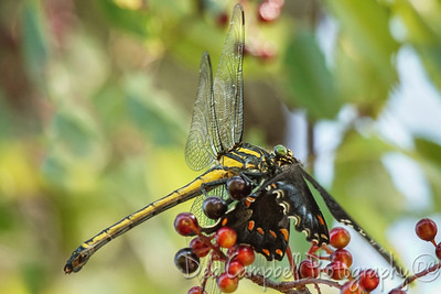 Dragonhunter Dragonfly eating Butterfly