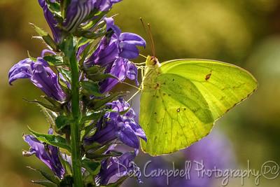 Clouded Sulfer Butterfly on Lobelia