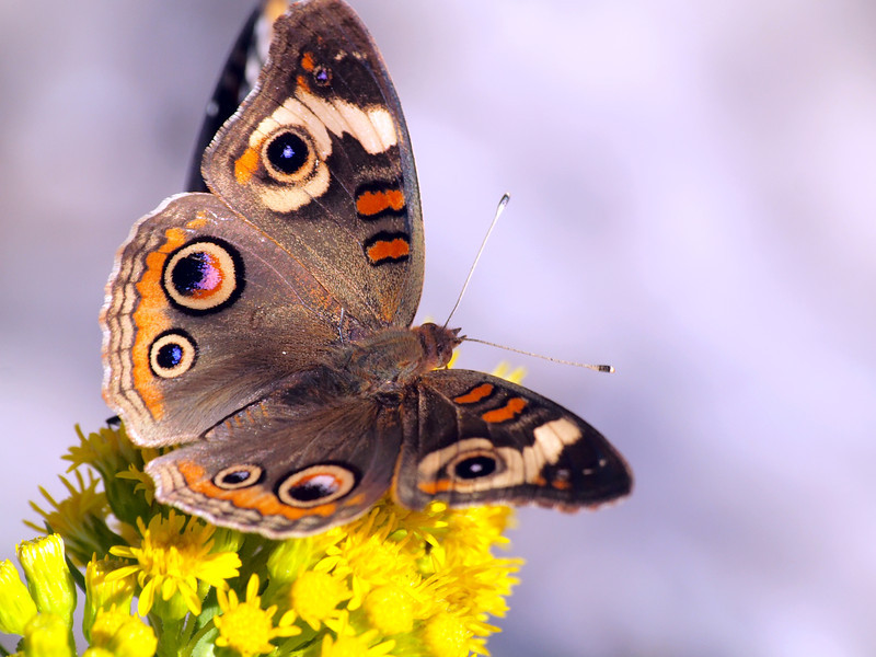 Common Buckeye Butterfly, Robert Moses State Park
