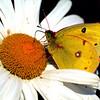 Clouded Sulphur Butterfly, Jones Beach