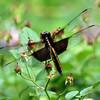 Black Saddlebags Dragonfly, Holmes