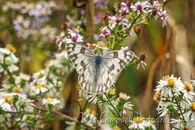 Checkered White Butterfly on Aster