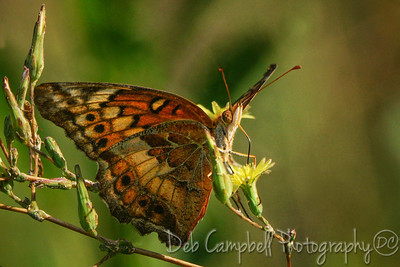 Variegated Fritilary Butterfly on Prickly Lettuce Bloom