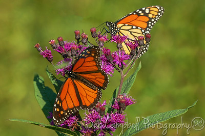 Monarch Butterflies on Ironweed