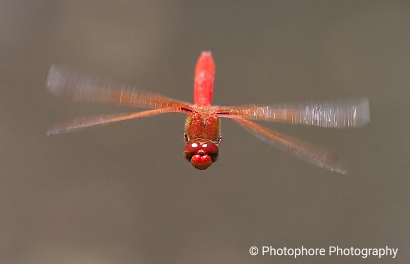 Cardinal Meadowhawk, Inverness, CA