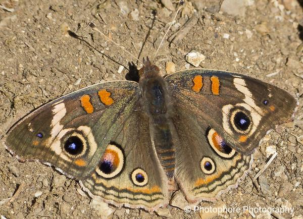 Common Buckeye, Muir Woods California