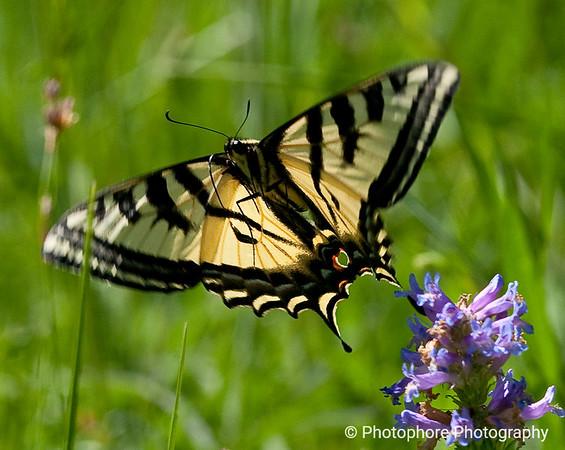 Pale swallowtail, Lake Tahoe CA