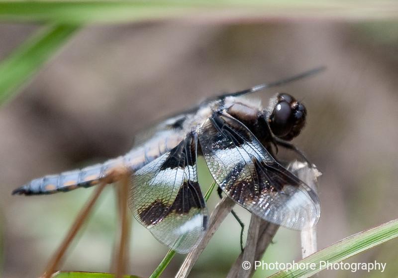Eight-spotted Skimmer, Fairfax CA