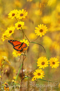 Monarch Butterfly on Wildflowers
