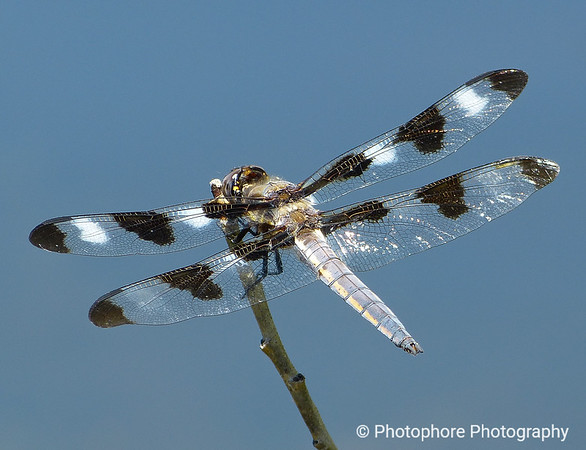 Eight-spotted Skimmer, Lake Tahoe CA