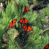 Monarch Butterflys, Robert Moses State Park