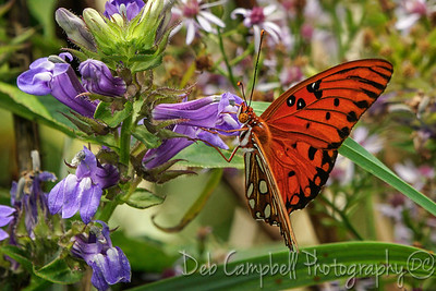 Gulf Fritilary Butterfly on Lobelia