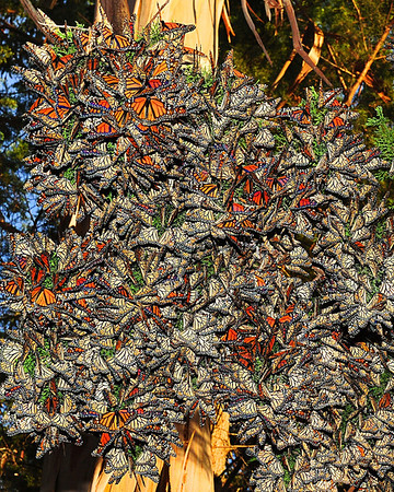 """Branches of Color"". Monarch Butterfly's cluster together in Santa Cruz's cypress branches."