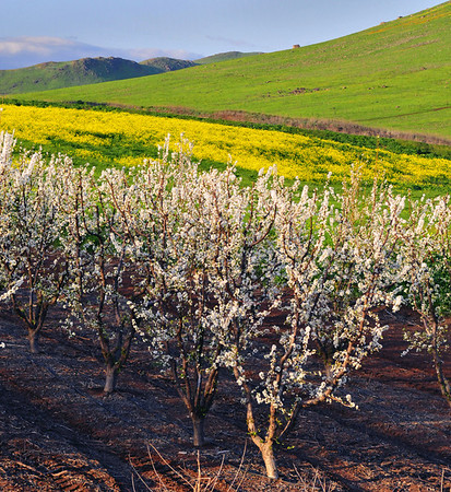 Plum trees in full bloom, lower Sierra Nevada foothills, CA.